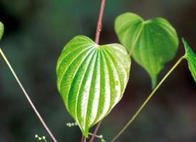 Divlji jam – biljka žena