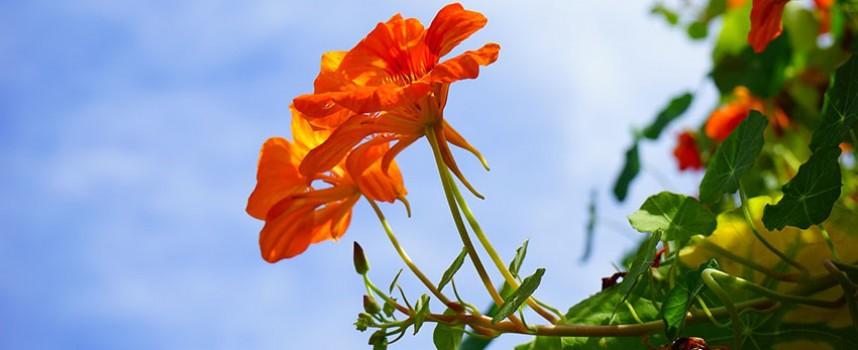 Ljubavni cvet – dragoljub