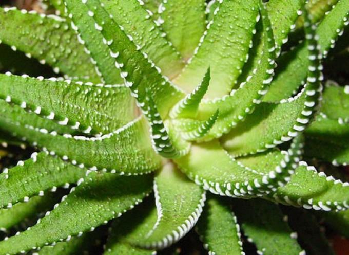 Lekovita svojstva Aloe Vere