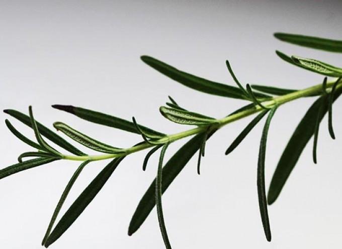 Ruzmarin — snažna protivupalna biljka koja i divno miriše